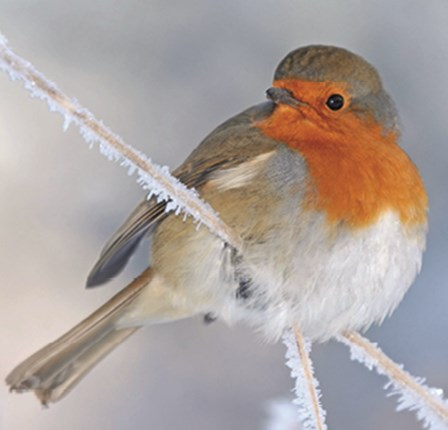 Frosty Robin Christmas Card
